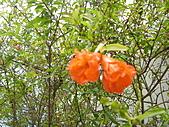 知卡宣森林公園 花蓮平價網站:石榴花果 花蓮平價網站2.JPG