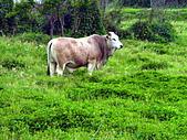花蓮有機牛草地 rn網站:台灣黃牛是有機的喔 rn專輯1.jpg