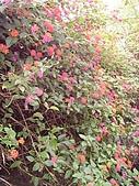 花東縱谷馬櫻丹 風景 圖   (17):花東縱谷馬櫻丹 風景 圖_8.jpg