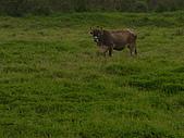 花蓮有機牛草地 rn網站:台灣黃牛是有機的喔 rn專輯2.JPG