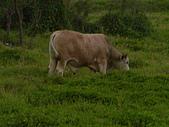 花蓮有機牛草地 rn網站:台灣黃牛是有機的喔 rn專輯3.JPG
