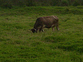 花蓮有機牛草地 rn網站:台灣黃牛是有機的喔 rn專輯4.JPG