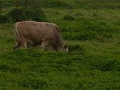 花蓮有機牛草地 rn網站:台灣黃牛是有機的喔 rn專輯8.JPG