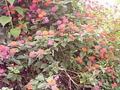 花東縱谷馬櫻丹 風景 圖   (17):花東縱谷馬櫻丹 風景 圖_2.jpg