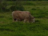 花蓮有機牛草地 rn網站:台灣黃牛是有機的喔 rn專輯9.JPG