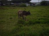 花蓮有機牛草地 rn網站:台灣黃牛是有機的喔 rn專輯10.JPG