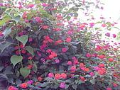 花東縱谷馬櫻丹 風景 圖   (17):花東縱谷馬櫻丹 風景 圖_3.jpg