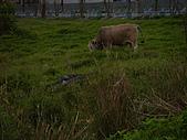 花蓮有機牛草地 rn網站:台灣黃牛是有機的喔 rn專輯12.JPG