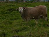 花蓮有機牛草地 rn網站:台灣黃牛是有機的喔 rn專輯13.JPG