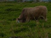花蓮有機牛草地 rn網站:台灣黃牛是有機的喔 rn專輯14.JPG