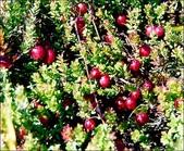 蔓越莓:Cranberry05h1.jpg