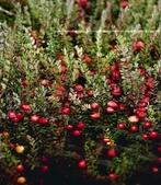 蔓越莓:cranberry07h.jpg