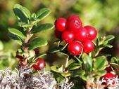 蔓越莓:蔓越莓03.jpg