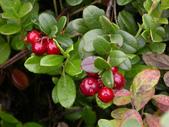 蔓越莓:Cranberry05f.jpg