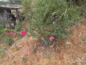 我的農場生態:紅茶梅