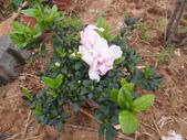 我的農場生態:粉杜鵑