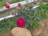 我的農場生態:玫瑰
