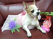 狗狗造型秀:DSCF6940.JPG