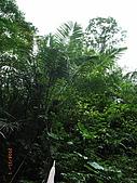 宜蘭九寮溪生態解說2008.11.01:山棕
