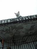 宜蘭九寮溪生態解說2008.11.01:住在屋頂的貓