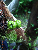 宜蘭九寮溪生態解說2008.11.01:水同木的幹生果