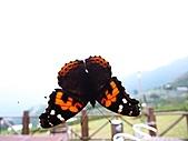 雪見與大安溪峽谷2008.08.21~22:是蝴蝶還是蛾阿?