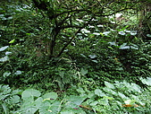 宜蘭九寮溪生態解說2008.11.01:有山豬遺留下的痕跡