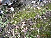 宜蘭九寮溪生態解說2008.11.01:地鼠挖的坑道