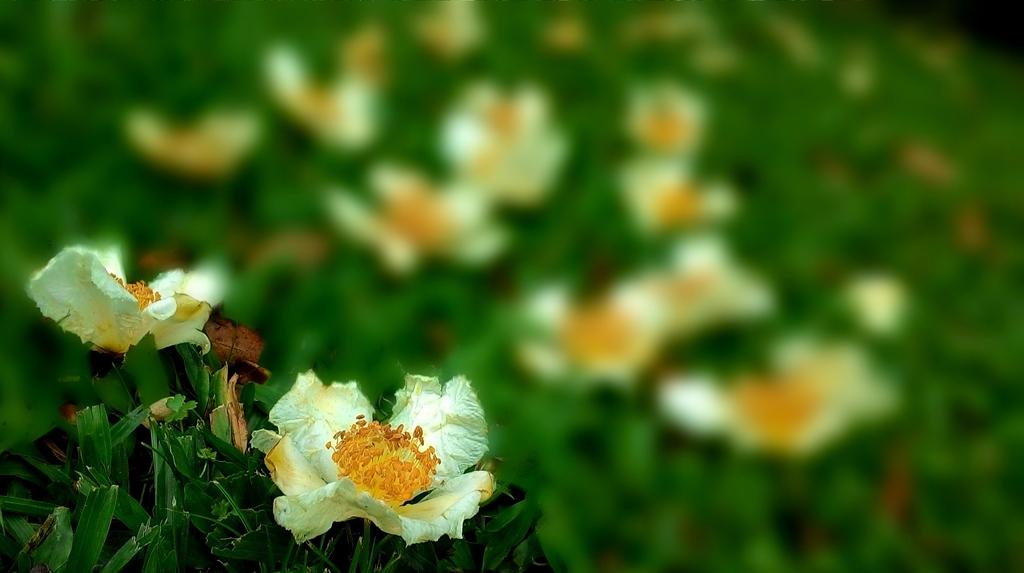 練習拍花:14-3野生的大頭茶.jpg
