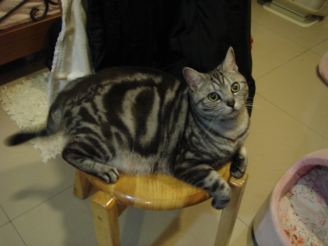 私の貓♥麻糬:硬要塞在椅子上@@屁股快掉下去拉