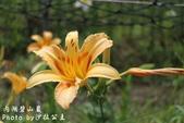 內湖碧山巖百合花季:IMG_9502.jpg