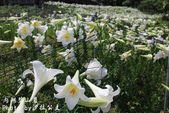 內湖碧山巖百合花季:IMG_9482.jpg