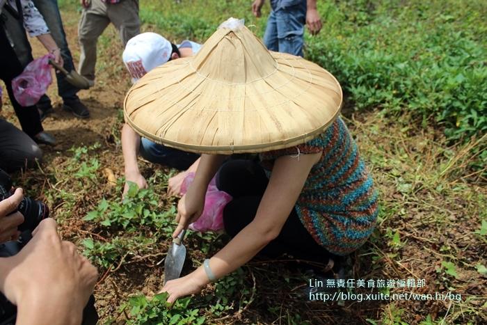 三芝農家樂:圖一 旅客在地瓜田裡超認真挖地瓜。.JPG