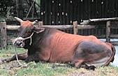 台灣稀有動物:黃牛01.jpg