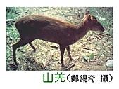台灣稀有動物:台灣山羌02.jpg