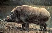 台灣稀有動物:台灣野豬01.jpg