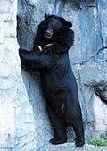 台灣稀有動物:台灣黑熊01.jpg