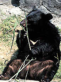 台灣稀有動物:台灣黑熊02.jpg