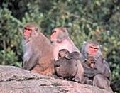 台灣稀有動物:台灣獼猴01.jpg