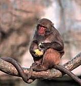台灣稀有動物:台灣獼猴02.jpg