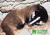 台灣稀有動物:白鼻心02.jpg