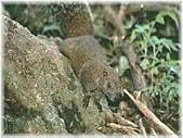 台灣稀有動物:赤腹松鼠02.jpg