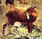 台灣稀有動物:長鬃山羊01.jpg
