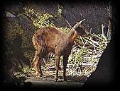 台灣稀有動物:長鬃山羊02.jpg