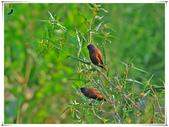 臺灣飛羽之美-黑頭文鳥:黑頭文鳥