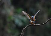 臺灣飛羽之美-翠鳥(野塘):翠鳥