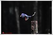 臺灣飛羽之美-台灣藍鵲:台灣藍鵲