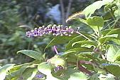 清境維也納露營區-美洲商陸(小太陽):uvs091028-014.jpg
