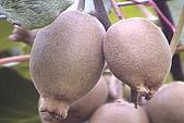 清境維也納露營區-黃金奇異果(獼猴桃)(小太陽):奇異果-001-黃金色肉