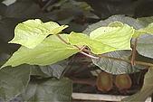 清境維也納露營區-黃金奇異果(獼猴桃)(小太陽):奇異果-001-葉